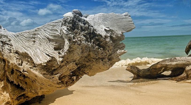 Tronc d'arbre échoué sur une plage de Floride aux Etats-Unis