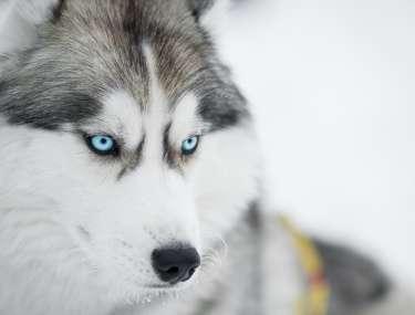 chien de traineau